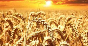 Nahrungsmittel Weizen: Zu Unrecht in Verruf geraten? | apomio Gesundheitsblog