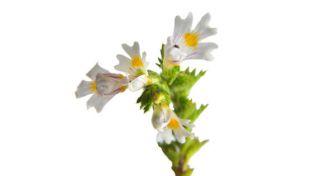 Augentrost: Eine Pflanze deren Namen Programm ist