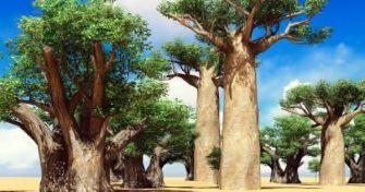 Baumgigant Baobab - Vitaminbombe aus Afrika | apomio Gesundheitsblog