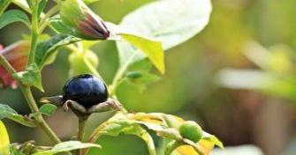 Belladonna - die schwarze Tollkirsche | apomio Gesundheitsblog