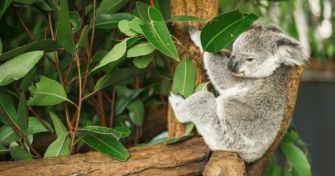 Heilpflanze aus Down Under: Der Eukalyptus