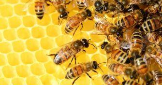 Die Kraft der Biene: Propolis gegen Viren, Bakterien und Pilze