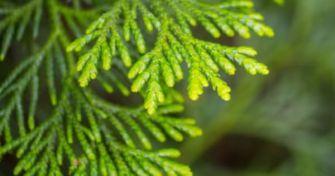 Teebaumöl:  Vorreiter zu Penicillin & überraschendes Allheilmittel für die Gesundheit