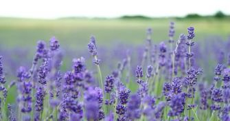 Lavendel – mediterranes Gewächs mit vielen Talenten   apomio Presse