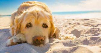 Vorsicht: Auch Hunde können einen Sonnenbrand bekommen   apomio Presse